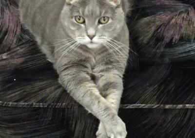 A gray kitty.